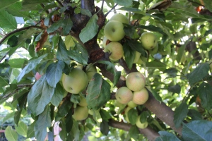Gala apples just ripening at the end of July.