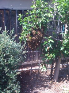 Our first swarm landed on the espaliered apple tree.