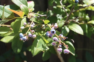 The last of my blueberry plants fruiting in late July.