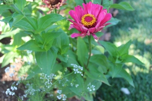 White flowers of cilantro look as delicate as lace in flower beds. The zinnia also pictured came up from seed from last year's planting.