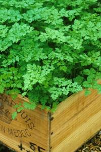 The delicate, intense green leaves make chervil an attractive border plant.