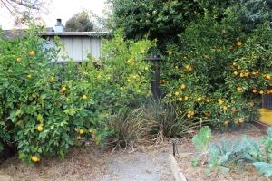 Left to right: Meyers lemon, Bearss lime, Valencia orange.